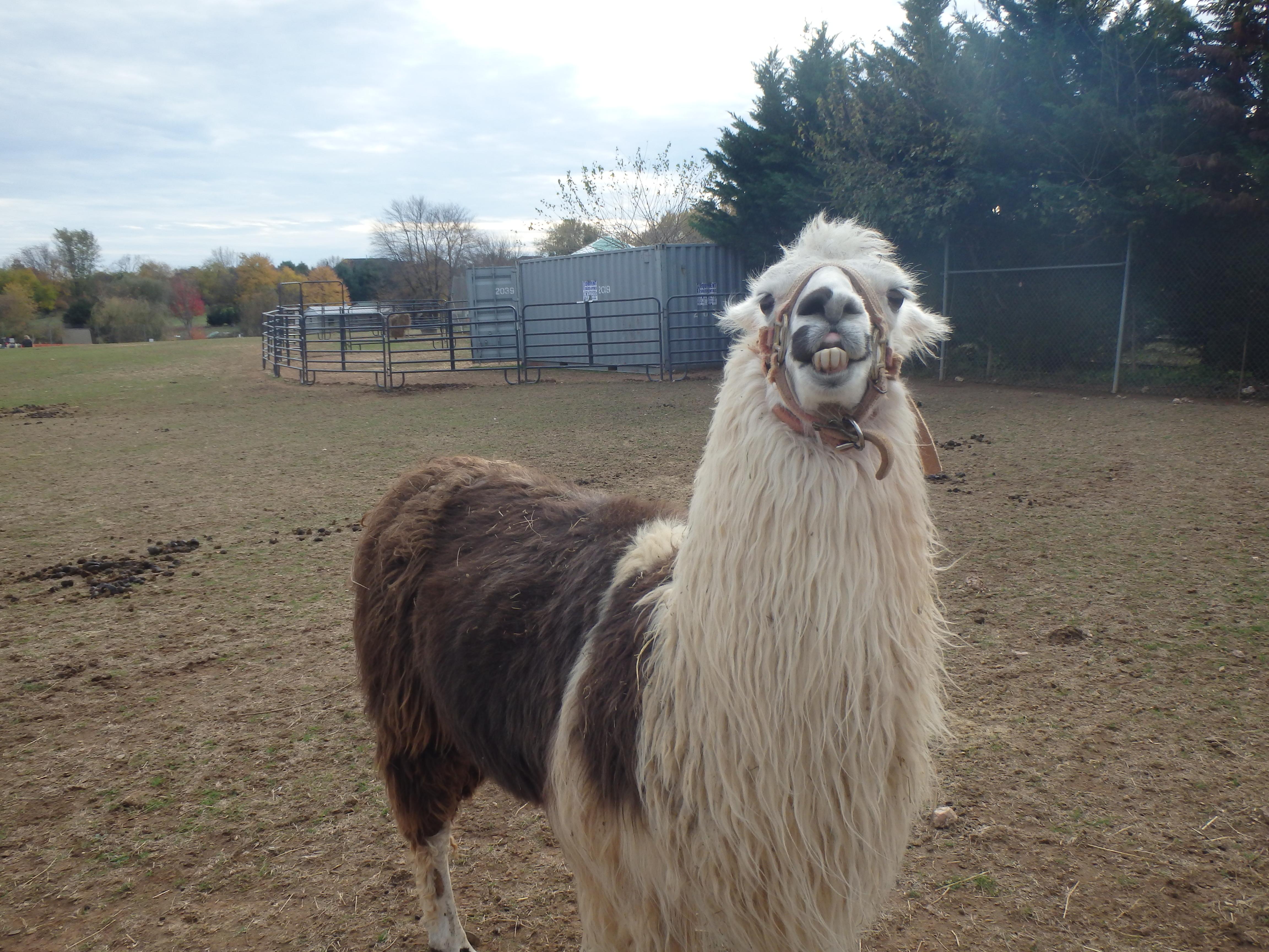 Leesburg Animal Park llama