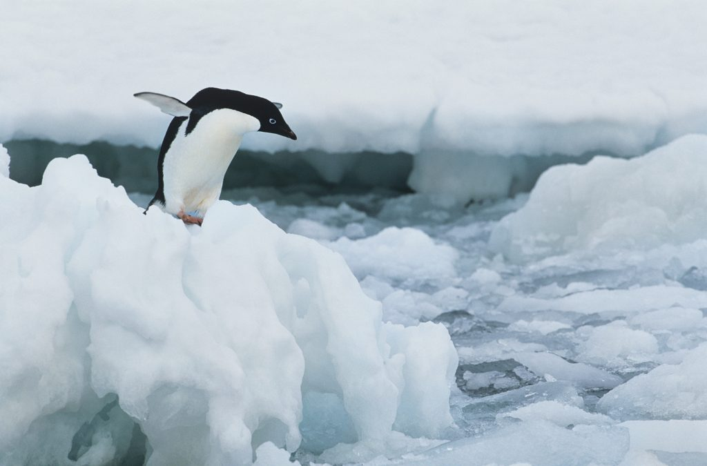 A penguin about to jump off an icy ledge, image to represent a polar plunge or polar dip in Northern Virginia for charity