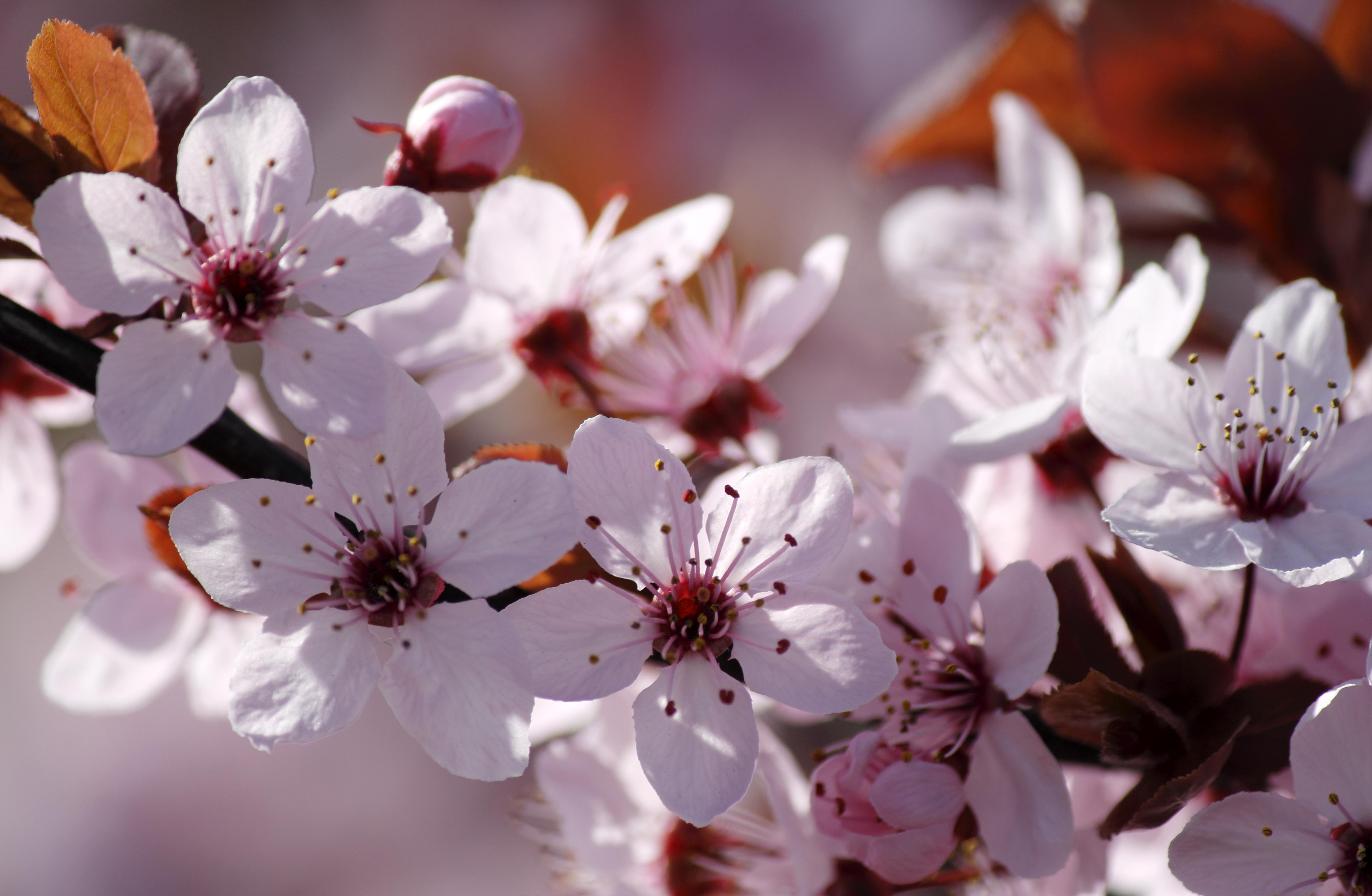 Close-up of Cherry Blossom flower, for list of spring and Easter festivals in DC and Northern Virginia