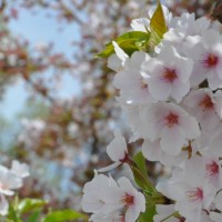 Where to see the cherry blossoms in DC and Virginia
