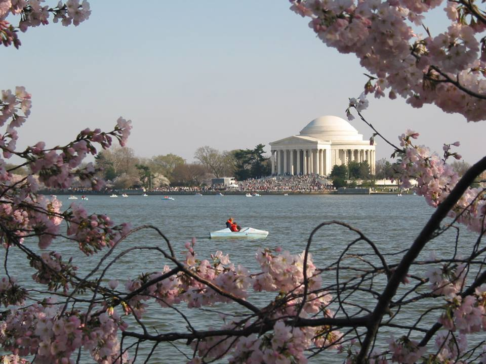 Cherry Blossom trees in bloom along the Tidal Basin and Jefferson Memorial in Washington DC