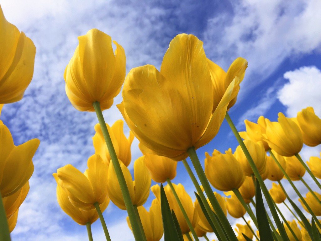 Yellow tulips against a blue sky with clouds