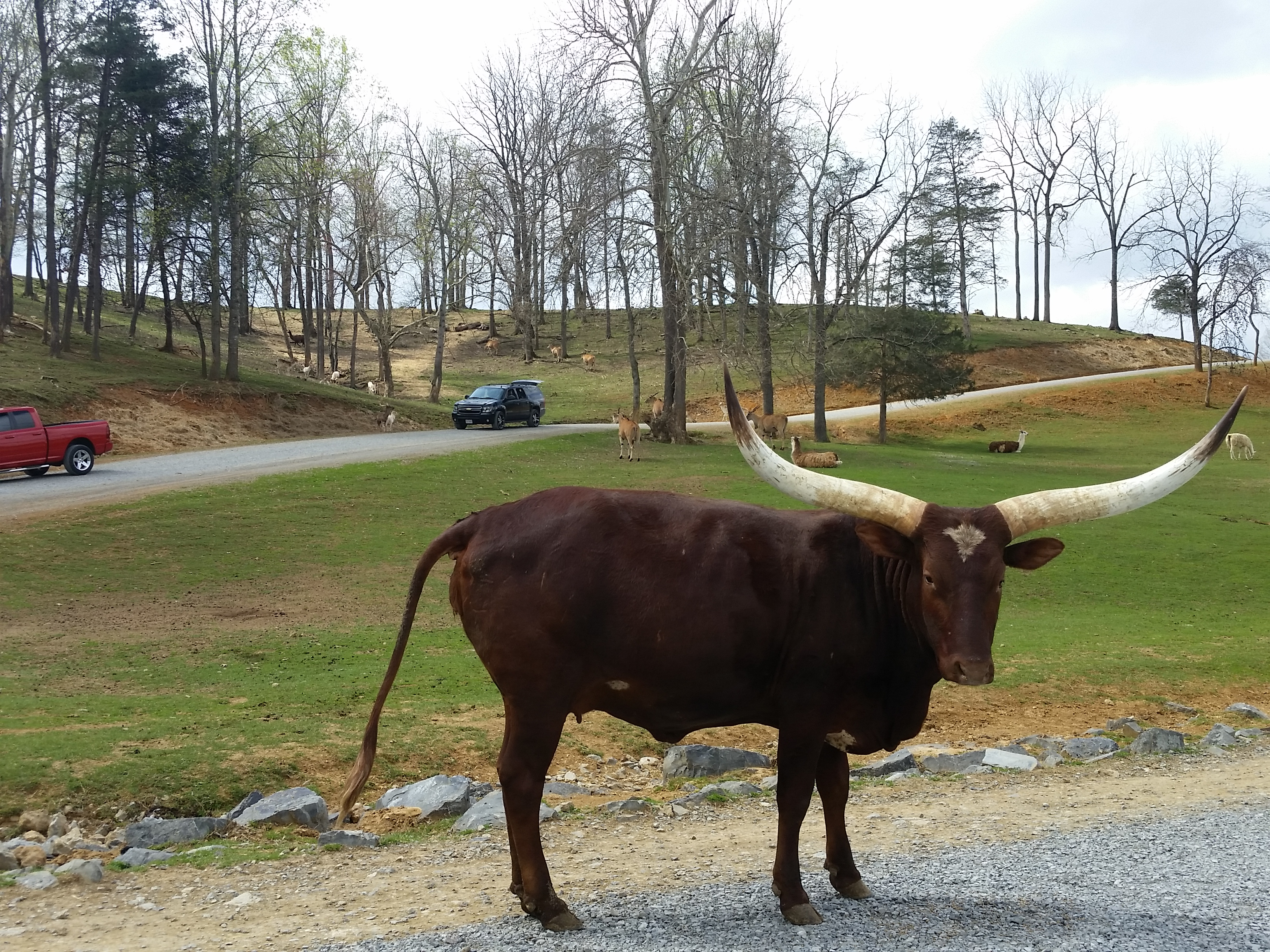 long horned cattle at Virginia Safari Park