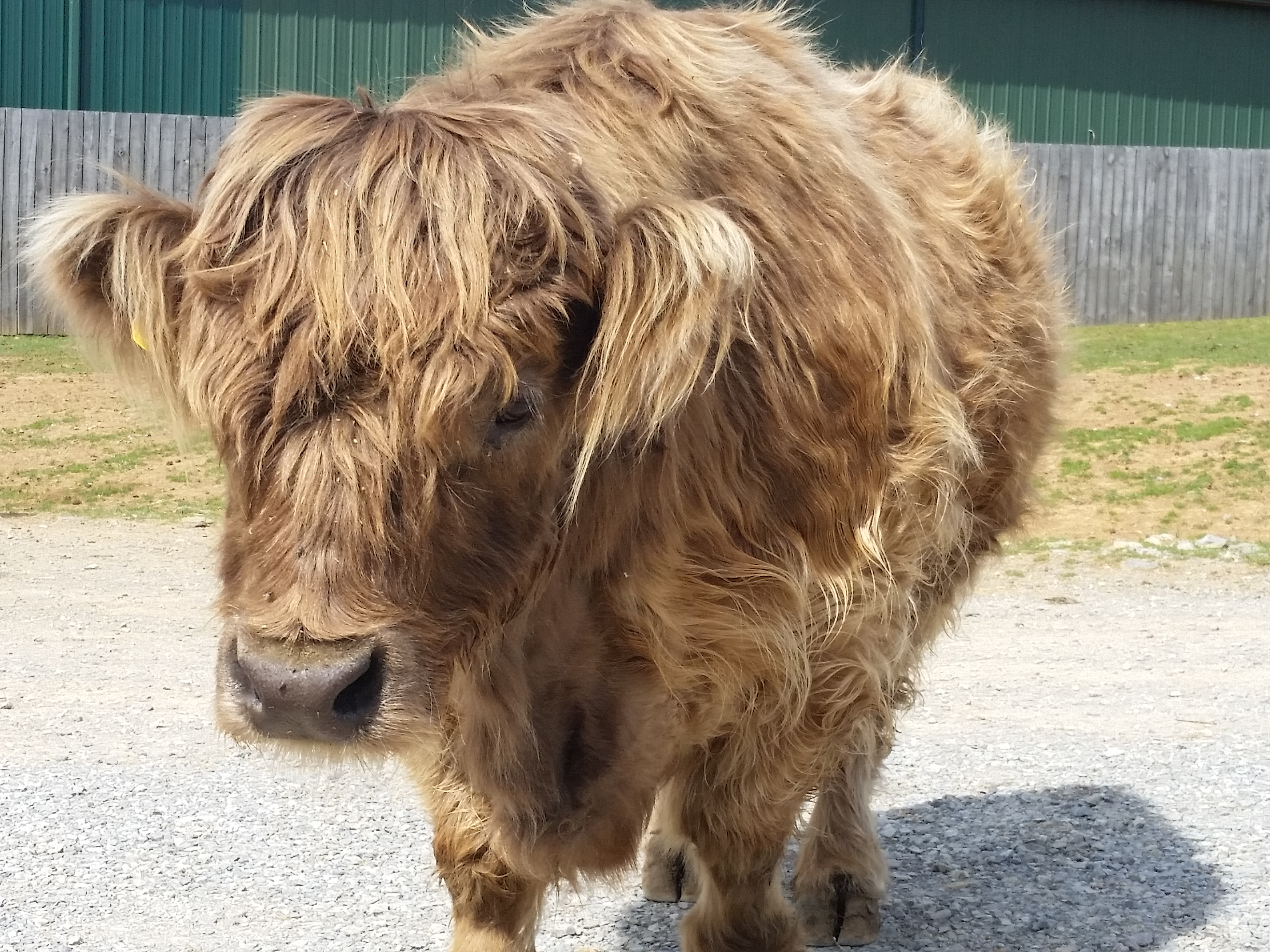 Scotch highland cattle at Virginia Safari Park