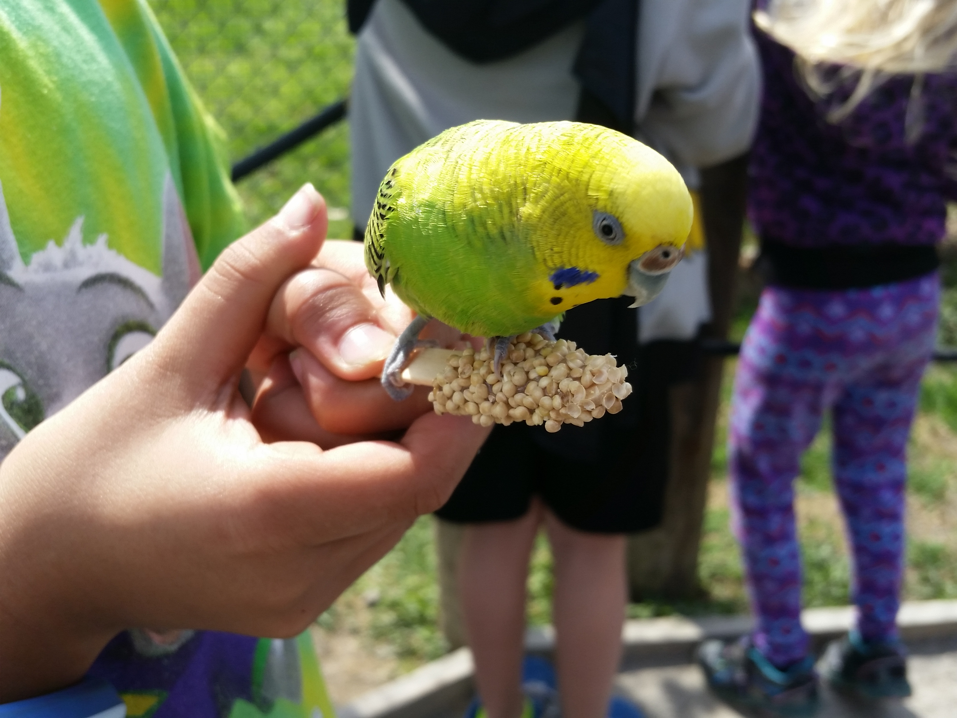Yellow budgie bird at Virginia Safari Park