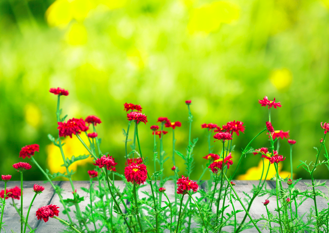 red wildflowers against a grass background