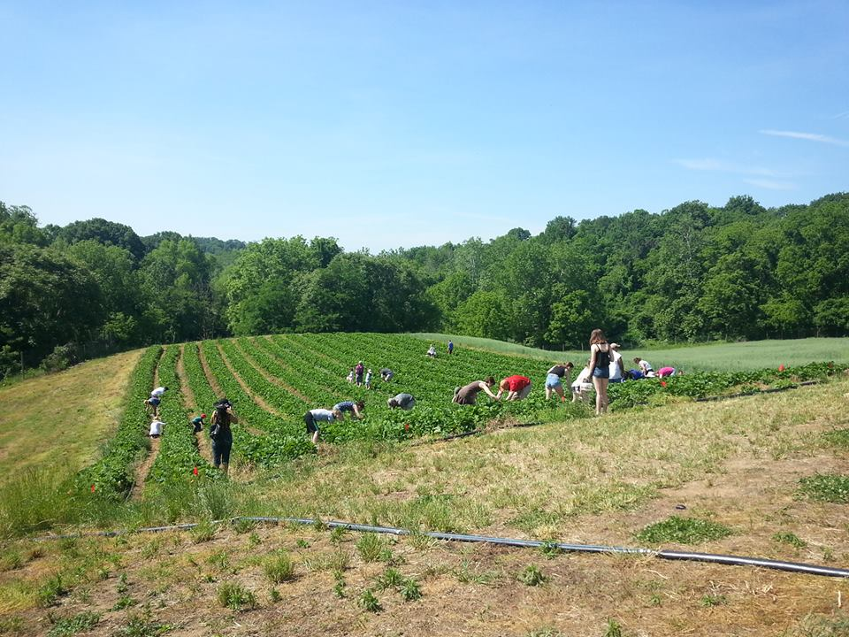 Strawberry picking at Wegmeyer Farms in Virginia