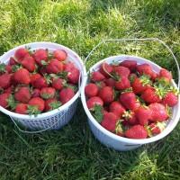 Strawberry picking at Wegmeyer Farms – Fairfax Family Fun readers save 25%!