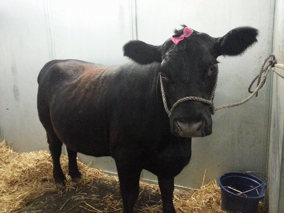 Black show cow with pink ribbon at Frying Pan Farm Park 4-H Fair