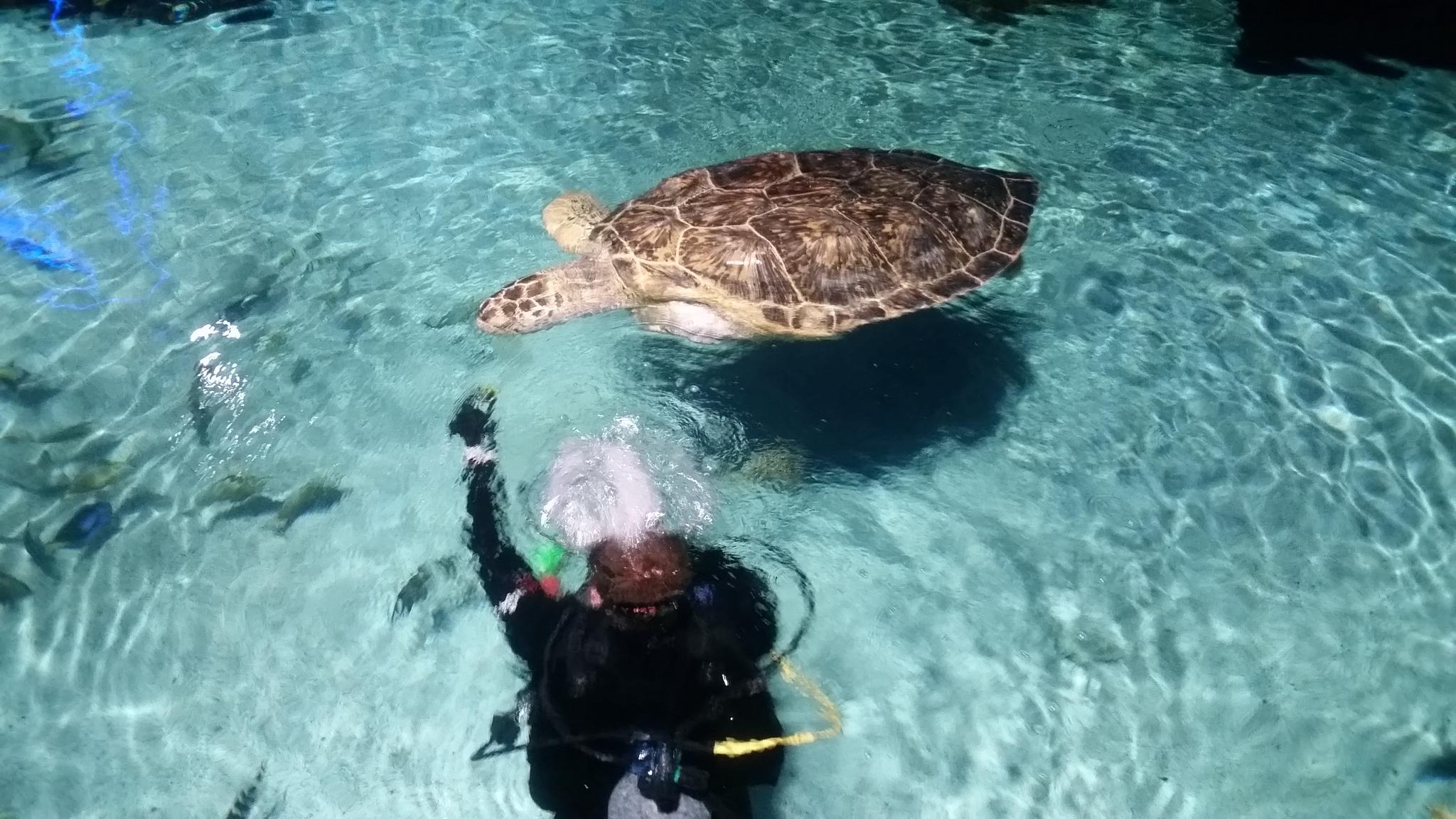 This giant turtle, Calypso, is one of the aquarium's big stars!