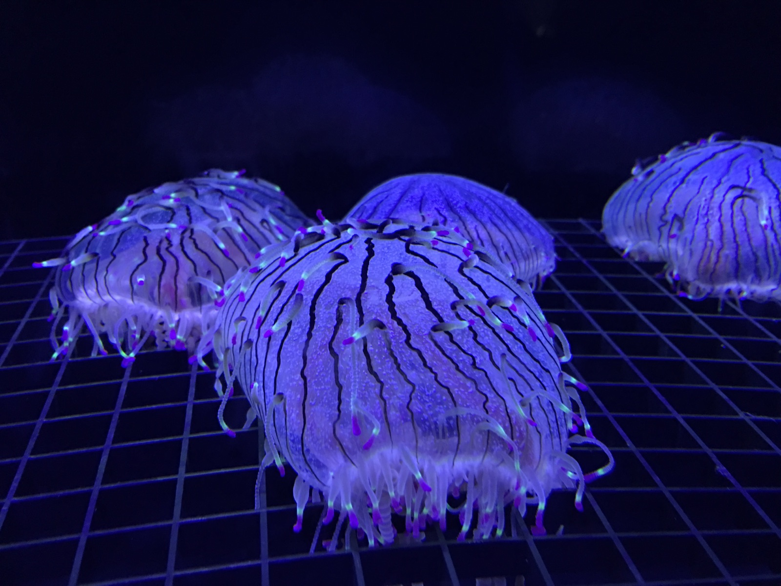 """These funky ones are Olindias formosus, or """"Flower Hat Jelly"""""""