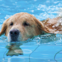 Doggie paddle parties: Area pools host dog swim events
