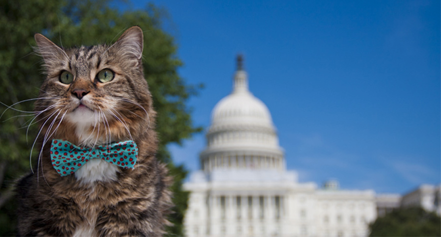 Hank for Senate Hank the Maine Coon cat in front of the US Capitol building