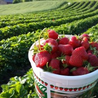 Strawberry picking begins… and so does strawberry wine!