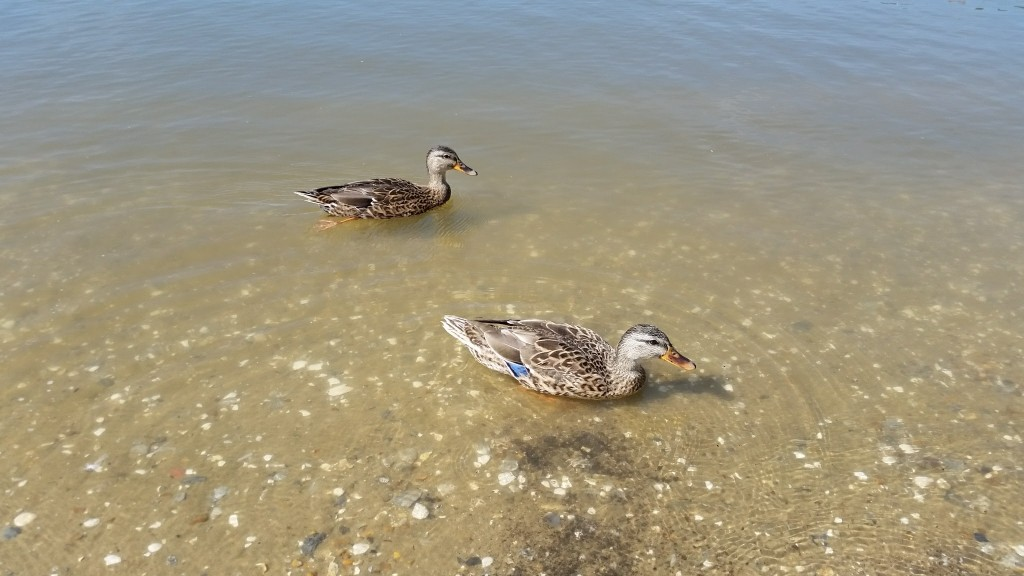 Kingsmill Resort ducks on the James River