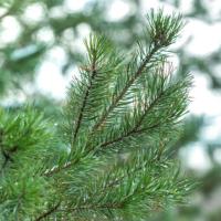 Northern Virginia Christmas Tree Farms
