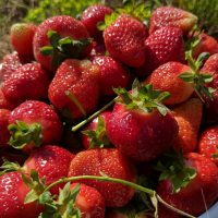 Strawberry picking season is in full swing!