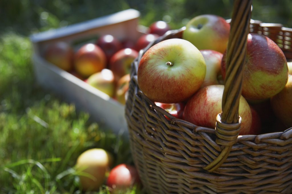Apples in Basket for apple picking article