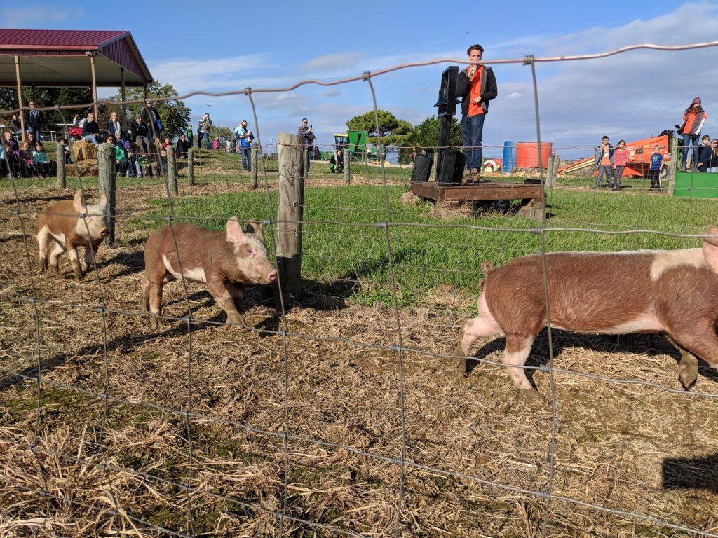 pigs racing at Wayside Farm Fun on a sunny day during the fall festival in northern Virginia