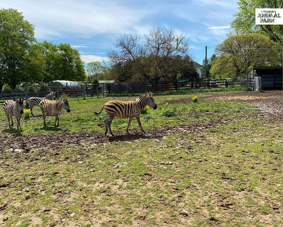 Zebras in a field at Leesburg Animal Park drive-through zoo